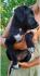 Medena-pas mešanac traži svoju porodicu